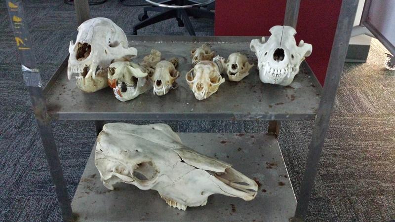 Museo dei teschi fossili interattivo
